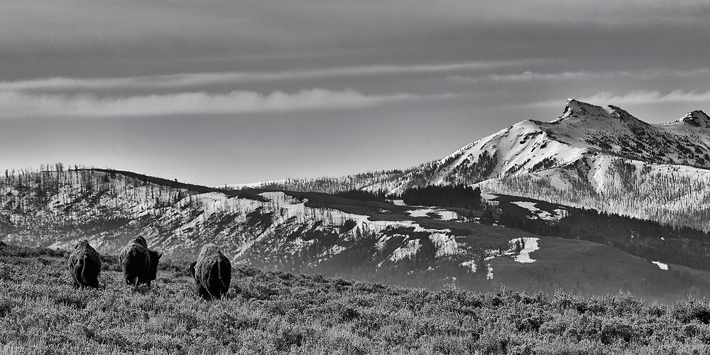 Limited edition photograph of three bison in Yellowstone National Park, Wyoming.