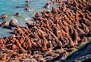 Walruses crowding onto the beach, Arakamchechen Island, Arctic Siberia