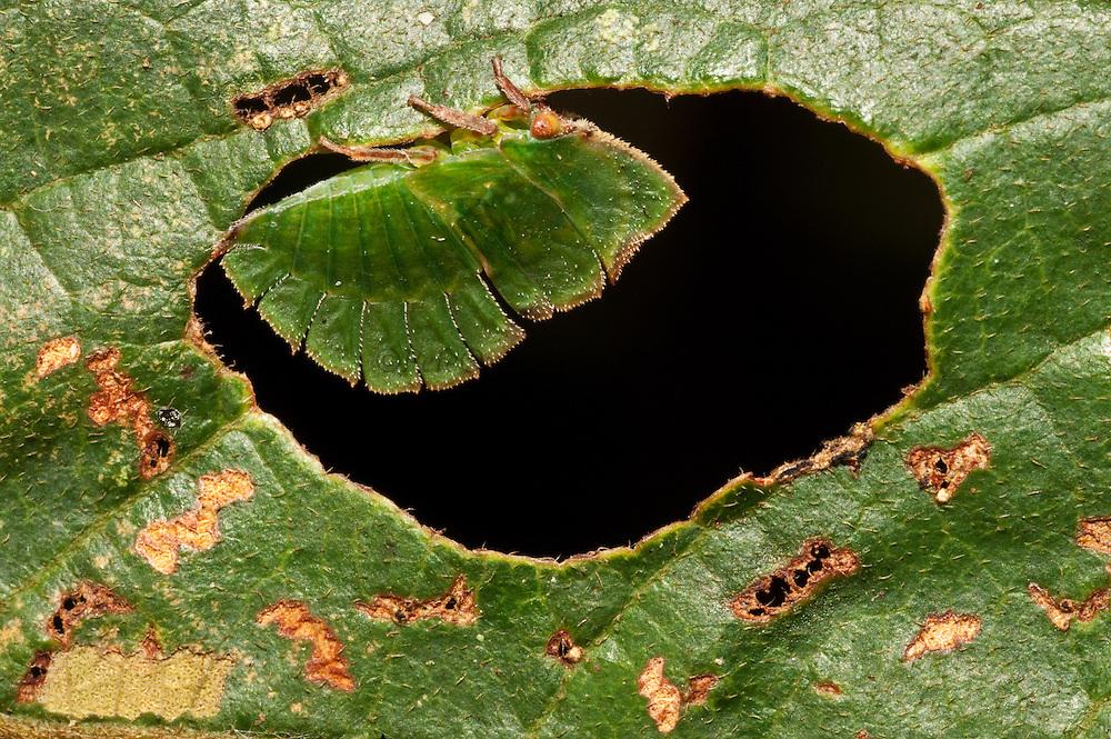 Leaf mimic treehopper (Membracidae),<br /> Rainforest,<br /> Rewa River,<br /> Guyana,<br /> South America