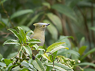 Long-tailed Silky-flycatcher (Ptilogonys caudatus) is endemic to Costa Rica and western Panama. Savegre Mountain Lodge and Nature Reserve, Costa Rica.