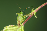 Common Green Capsid - Lygocoris pabulinus