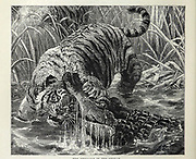 The Struggle in the Stream Alligator has attacked a tiger From the book ' Royal Natural History ' Volume 1 Section II Edited by  Richard Lydekker, Published in London by Frederick Warne & Co in 1893-1894