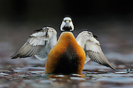 Steller's eider duck, male, Polysticta stelleri, Båtsfjord village harbour, Varanger Peninsula, Norway, Scandinavia