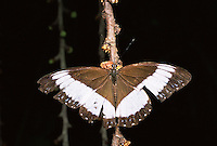 Butterfly feeding on figs hanging on fruiting stalks. .Sierra Madre National Park, Luzon, Phillipines.  Sep 01.