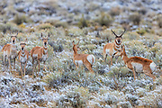 An alpha male pronghorn antelope (Antilocapra americana) watches over several females in a field dusted with fresh snow in Fremont County, Wyoming.