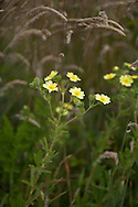 I found this potentilla, also called Cinquefoil, growing at Fort Hill in Cape Cod National Seashore, a great location for wildflowers.