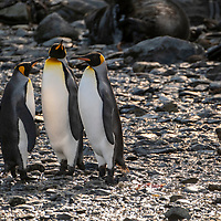 Three adult king penguins on a rocky beach shared with Antarctic fur seals at Elsehul, a bay on the northwest coast of South Georgia Island.