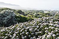 Disparago anomala growing along the Agulhas coastline, Agulhas National Park, Western Cape, South Africa