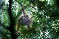 Bornean Orangutan <br />Wurmbii Sub-species<br />(Pongo pygmaeus wurmbii)<br /><br />Adult female Walimah with severely injured foot.<br /><br />Gunung Palung Orangutan Project<br />Cabang Panti Research Station<br />Gunung Palung National Park<br />West Kalimantan Province<br />Island of Borneo<br />Indonesia