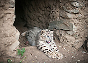 A snow leopard, found in the Murghab area (a Kyrgyz man tried to sell it to a tourist who refused and contacted a local NGO) is kept in a private garden from a wildlife conservation organization, waiting for its case to be settled on where to keep it.<br /> <br /> The town of Khorog (2200m), is the capital of the Gorno-Badakhshan Autonomous Province (GBAO) in Tajikistan. It is situated in the Pamir Mountains (ancient Mount Imeon) at the confluence of the Gunt and Panj rivers.<br /> The city is bounded to the south and to the north by the deltas of the Shakhdara and Gunt rivers, respectively. The two rivers merge in the eastern part of the city flow through the city, dividing it almost evenly until its delta in the river Panj, also being known as Amu Darya, or in antiquity the Oxus on the border with Afghanistan. Khorog is known for its beautiful poplar trees that dominate the flora of the city.<br /> Khorog is one of the poorest areas of Tajikistan, with the charitable organization Aga Khan Foundation providing almost the only source of cash income. Most of its inhabitants are Ismaili Muslims.<br /> <br /> Tajikistan, a mountainous landlocked country in Central Asia. Afghanistan borders it to the south, Uzbekistan to the west, Kyrgyzstan to the north, and People's Republic of China to the east. Tajikistan also lies adjacent to Pakistan separated by the narrow Wakhan Corridor.<br /> Tajikistan became a republic of the Soviet Union in the 20th century, known as the Tajik Soviet Socialist Republic.<br /> It was the first of the Central Asian republic to gain independence in December 1991.