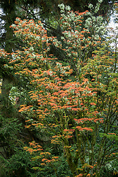 Acer palmatum 'Shishi gashira' AGM - Japanese maple