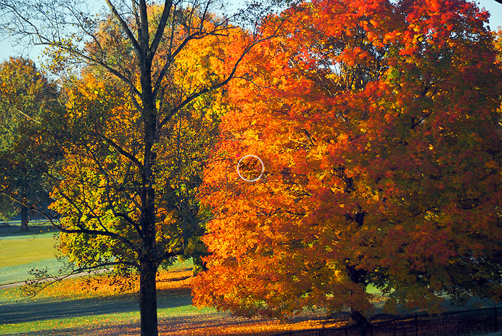 Autumn Tree at Country Club