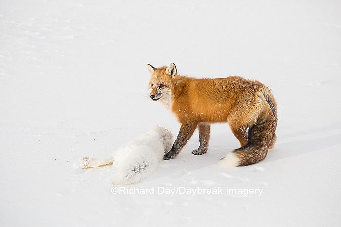 01871-02820 Red Fox (Vulpes vulpes) eating Arctic Fox (Alopex lagopus) at Cape Churchill, Wapusk National Park, Churchill, MB