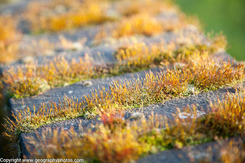 Close up of moss plants growing in cracks in a wall illustrating biotic weathering by plants, UK