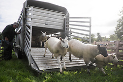 © Licensed to London News Pictures.29/08/15<br /> Bilsdale, UK. <br /> <br /> Sheep are unloaded from a trailer as they arrive for the 105th Bilsdale Country Show in North Yorkshire.<br /> <br /> Photo credit : Ian Forsyth/LNP