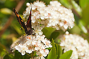 Small tortoiseshell butterfly collecting nectar from Pyracantha flowers, using proboscis.