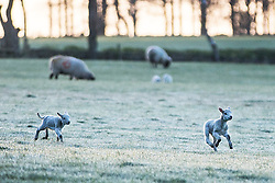 © Licensed to London News Pictures. 19/04/2016. Leeds UK. Two lambs play in a frost covered field in Leeds at first light this morning.  Photo credit: Andrew McCaren/LNP
