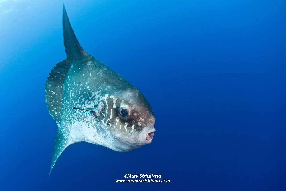 Growing to lengths of 10 feet and wieghts of 5000 pounds, the odd-looking Ocean Sunfish, Mola mola, is the heaviest of all bony fish. Banda Sea, Indonesia