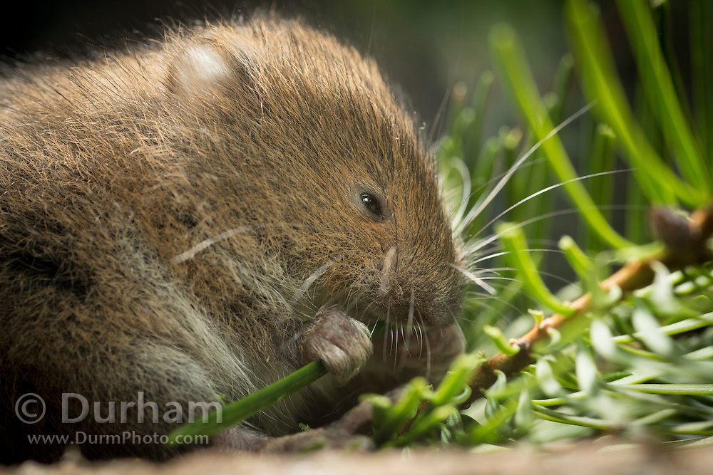 A red tree vole (Arborimus longicaudus) eating a Douglas fir needle. Red tree voles are rarely seen. They are nocturnal and live in Douglas fir tree tops and almost never come to the forest floor.  They are one of the few animals that can persist on a diet of conifer needles which is their principle food.  As a defense mechanism, conifer trees have resin ducts in their needles that contain chemical compounds (terpenoids) that make them unpalatable to animals.  Tree voles, however, are able to strip away these resin ducts and eat the remaining portion of the conifer needle.