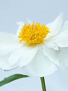 Paeonia lactiflora 'Krinkled White' - peony