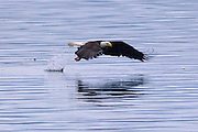A bald eagle (Haliaeetus leucocephalus) catches a fish in Hood Canal near Seabeck, Washington. Hundreds of bald eagles and other birds congregate in the area in the early summer to feast on migrating fish that get trapped in oyster beds at low tide.