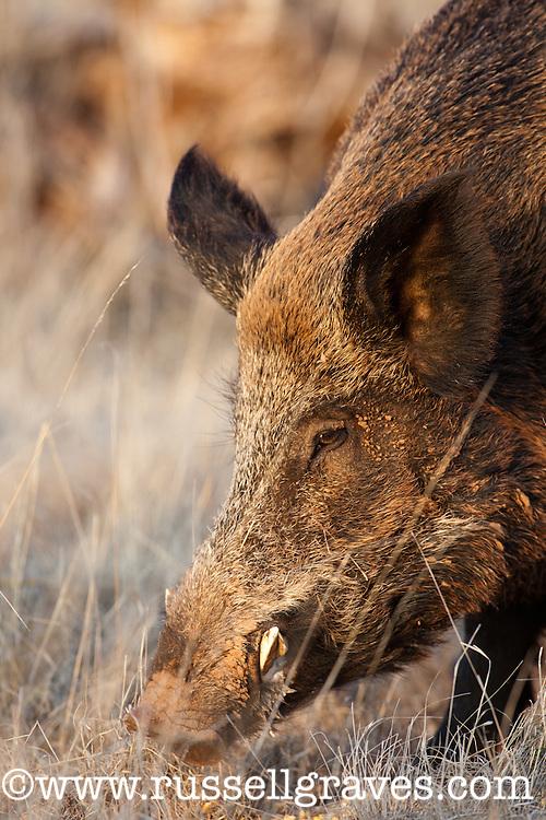 FERAL HOG BOAR WILD PIG
