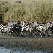 Burchells Zebra (Equus burchelli) Herd running near river. Durring migration in Serengeti National Park, more than 200,000 zebras migrate along side one million wildebeest and 300,000 Thomson's gazelles. Tanzania. Africa. February..Burchell?s Zebra (Equus burchelli) Herd running near river. Durring migration in Serengeti National Park, more than 200,000 zebras migrate along side one million wildebeest and 300,000 Thomson's gazelles. Tanzania. Africa. February.