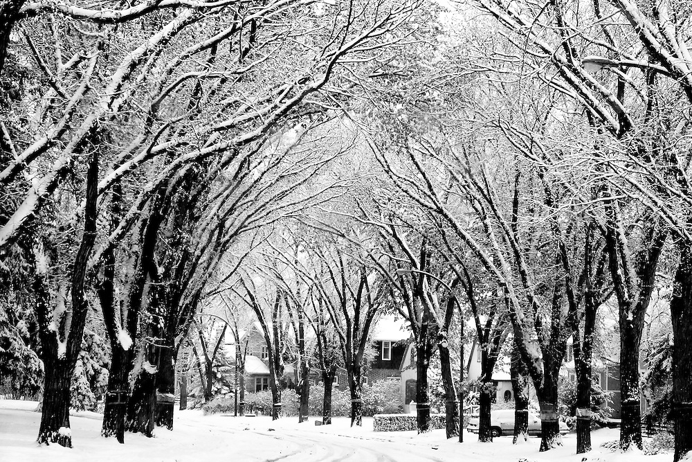 Snow swirls among elm trees on Regina's Garnet Street, Regina Saskatchewan