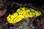 banana nudibranch,<br /> Notodoris minor,<br /> Great Barrier Reef, Australia,<br /> ( Western Pacific Ocean )