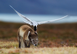 Arctic Fox (Alopex lagopus) and Arctic tern (Sterna paradisaea) fighting in Spitsbergen, Svalbard