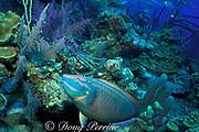 stoplight parrotfish, <br /> Sparisoma viride, supermale or terminal phase male<br /> Turks and Caicos ( Atlantic Ocean )