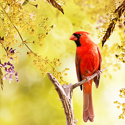 A male northern cardinal perched against a golden blooming backdrop.