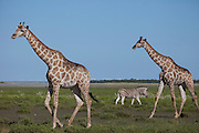 Giraffes and a zebra forage near the Halali restcamp at Etosha National Park in northern Namibia.