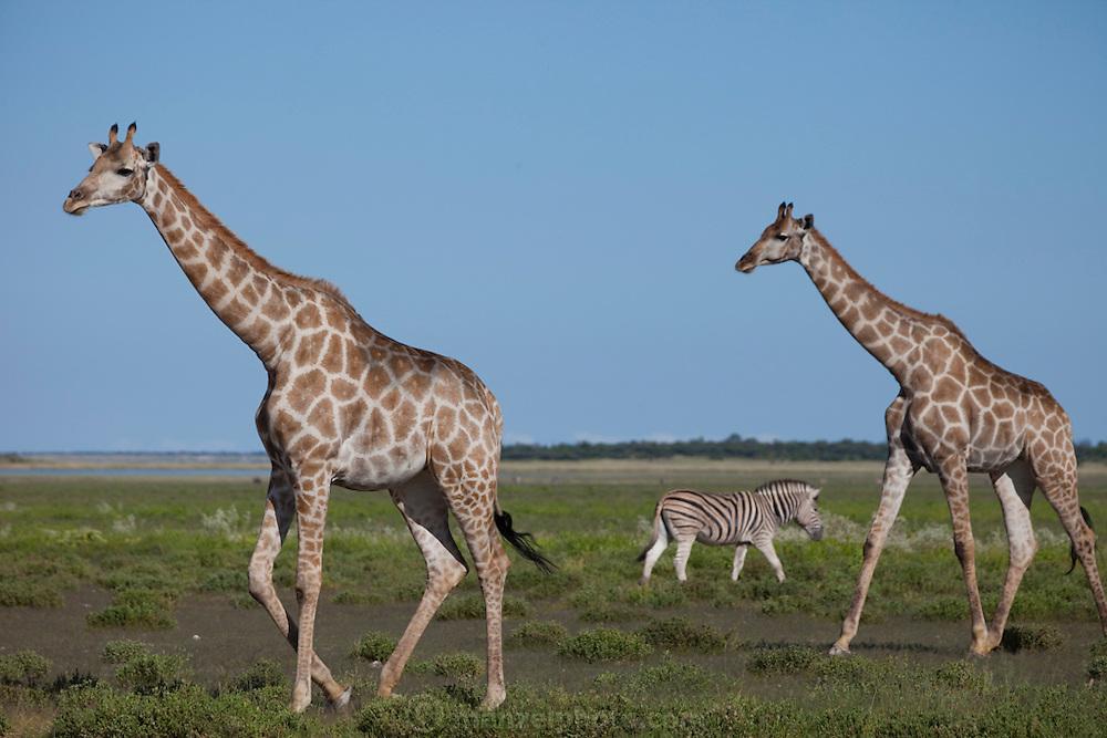 Giraffes and a zebra forage near the Halali restcamp at Etosha National Park in northern Namibia.