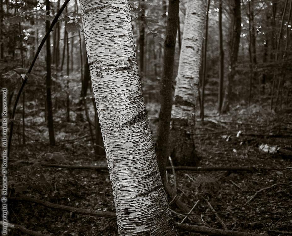 Birch Trees, Appalachian Trail, Dalton, MA