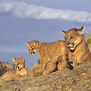 Mountain Lion adult and young in the Rocky Mountains. Captive Animal