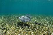 Southern Stingray (Dasyatis americana) & Bar Jack (Caranx ruber)<br /> Belize Barrier Reef<br /> Second largest barrier reef system in the world<br /> BELIZE, Central America