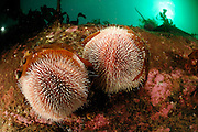 Edible sea urchin (Echinus esculentus), Atlantic Ocean, Strømsholmen, North West Norway | Essbarer Seeigel (Echinus esculentus), Atlantischer Ozean, Strømsholmen, Nordwestküste von Norwegen