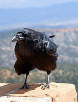 The Raven. Image taken with a Nikon D200 camera and 18-70 mm kit lens (ISO 100, 70 mm, f/7.1, 1/160 sec).