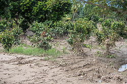 Coffee plantations across Honduras suffered extensive damage after hurricanes Eta and Iota. Many farms were damaged by landslides as well as widespread outbreaks of fungal diseases and root rot from flooding.