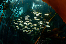 Sarpa salpa, Goldstrieme, Schule von Fischen im Tang, Goldline or Saleme, school of fishes between kelp, False Bay, Simons Town, Südafrika, Suedafrika, Indischer Ocean, False bay, Simons Town, South Africa, Indian Ocean