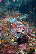 red lionfish, red firefish, or turkeyfish, Pterois volitans, and blue sea star, Linckia laevigata, on reef wall at Kalanggaman Island, off Malapascua, Cebu, Philippines  ( Visayan Sea, Western Pacific Ocean )
