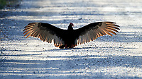Turkey Vulture (Cathartes aura). Loop Road. Big Cypress National Preserve. Image taken with a Nikon D4 camera and 80-400 mm VRII lens.