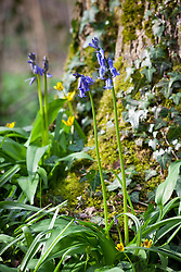 Bluebells growing at the base of a mossy tree trunk in a woodland. Hyacinthoides non-scripta