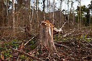 One of many trees felled to expand the work area for gold mining in the Peruvian Amazon. Boca Colorado, Peru.