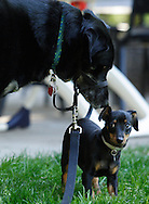 Salisbury Mills, N.Y.  - A large dog towers over a tiny dog at an outdoor party on May 2, 2009.