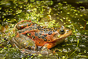 The Oregon spotted frog (Rana pretiosa) has been lost from at least 78 percent of its former range. Precise historic data is lacking, but this species has been documented in British Columbia, Washington, Oregon, and California. It is believed to have been extirpated from California. It is currently known to occur from extreme southwestern British Columbia, south through the eastern side of the Puget/Willamette Valley Trough and the Columbia River Gorge in south-central Washington, to the Cascades Range, to at least the Klamath Valley in Oregon. In 1993, the U.S. Fish and Wildlife Service determined that the Oregon spotted frog warranted listing under the Endangered Species Act, but doing so was precluded by higher priority listing actions. The frog then became a candidate for listing in the future. Photographed in the Conboy Lake National Wildlife Refuge, Washington. Temporarily captive under permit. © Michael Durham / www.DurmPhoto.com