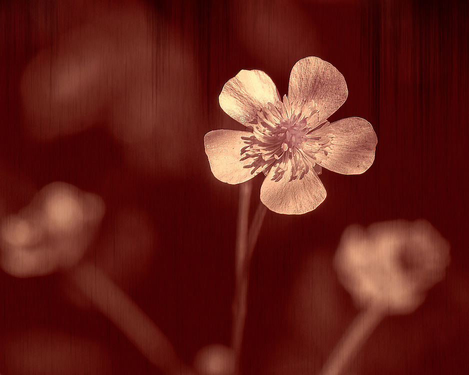 A pale isolated wildflower in rose lighting against a red wood grain