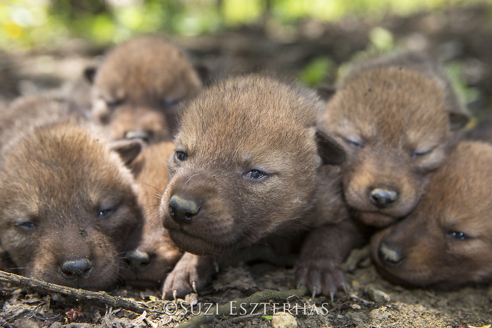 Coyote <br /> Canis latrans<br /> Two-week-old pups resting after being examined by wildlife researchers of the Cook County Coyote Project<br /> Chicago, Illinois