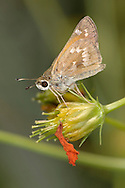 Tiny Butterfly On A Flower Bud, Peck's Skipper, Polites peckius
